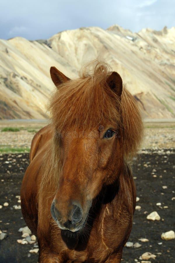 Cavalo islandês fotos de stock royalty free