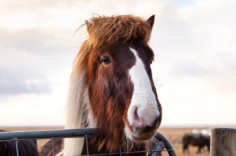 Cavalo islandês adorável no campo fotografia de stock