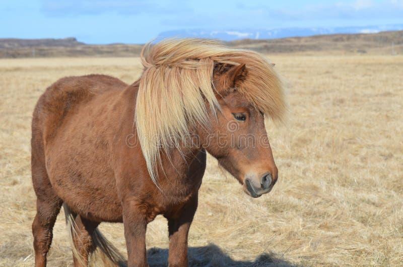Cavalo islandês bonito do Palomino fotografia de stock