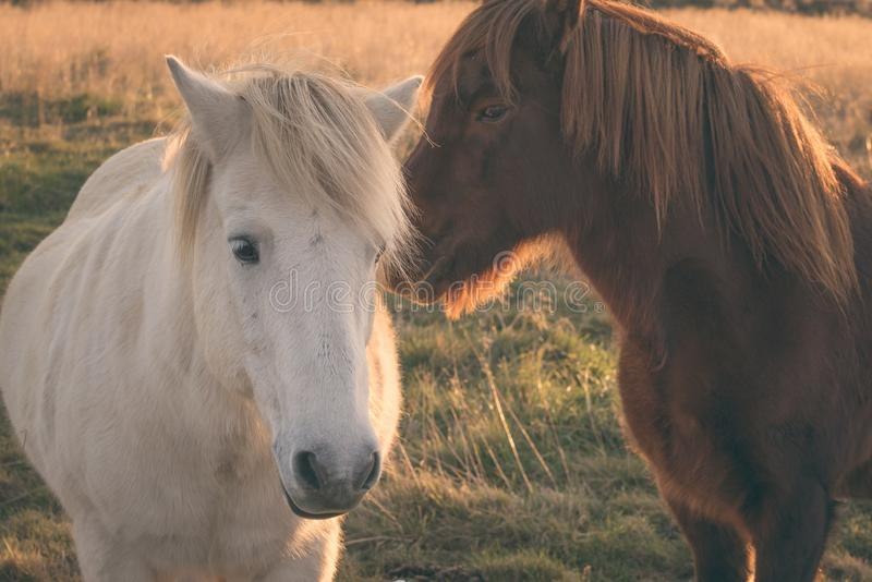 Cavalo islandês branco e marrom fotos de stock royalty free