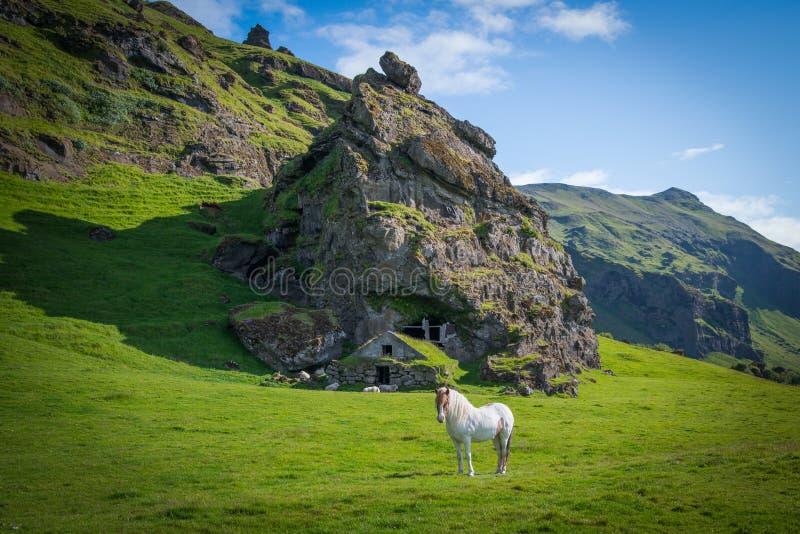 Cavalo islandês branco na frente de uma moradia da rocha imagem de stock