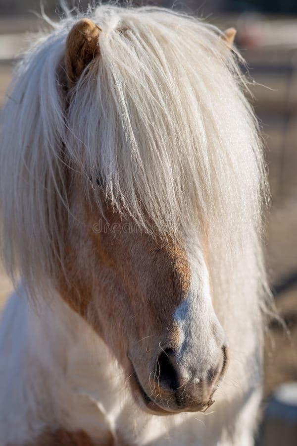 Cavalo island?s colorido Pinto com juba branca longa na luz solar imagens de stock royalty free