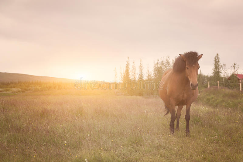 Cavalo islandês em um campo imagens de stock royalty free