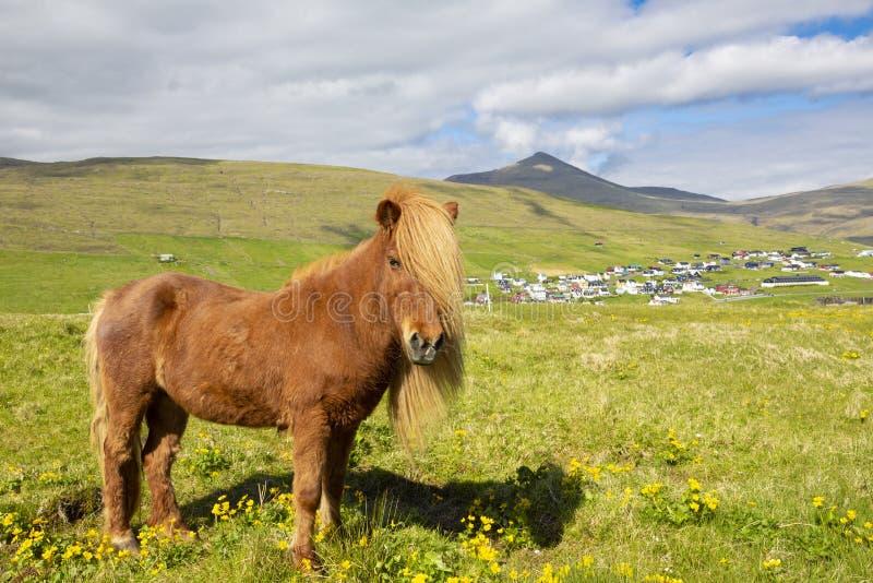Cavalo islandês em um prado do verão, em uma montanha e em uma vila de Saksun imagens de stock royalty free