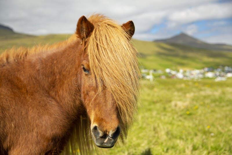 Cavalo islandês em um prado do verão, em uma montanha e em uma vila de Saksun fotografia de stock royalty free