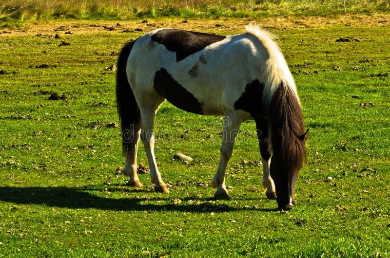 Cavalo islandês em um prado perto de Akureyri no dia de verão ensolarado fotos de stock