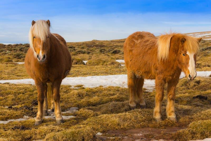 Cavalo islandês gêmeo fotografia de stock