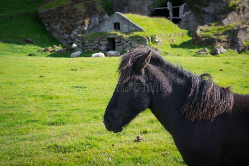 Cavalo islandês na frente de uma moradia de caverna histórica fotografia de stock royalty free