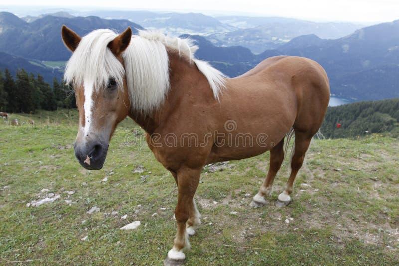 Cavalo islandês nos alpes foto de stock