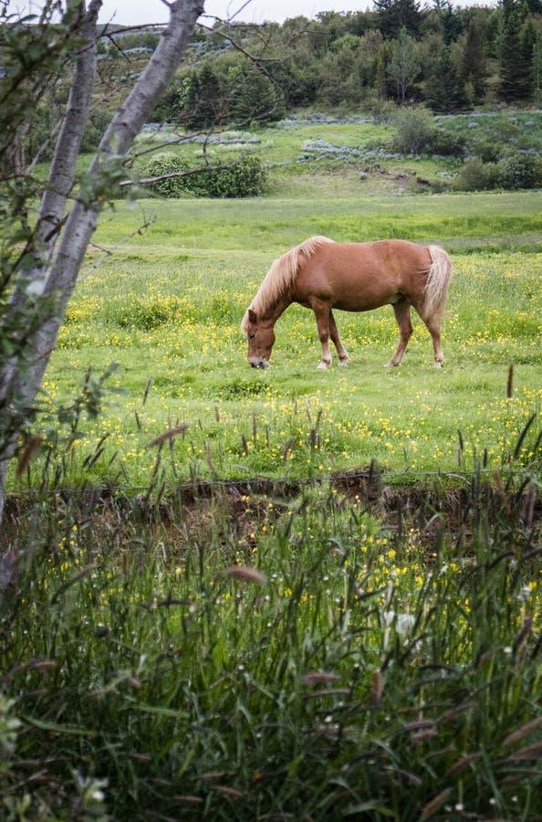Cavalo islandês que come a grama fotos de stock royalty free