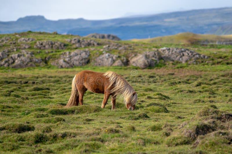 Cavalo islandês que pasta livre em um campo verde foto de stock