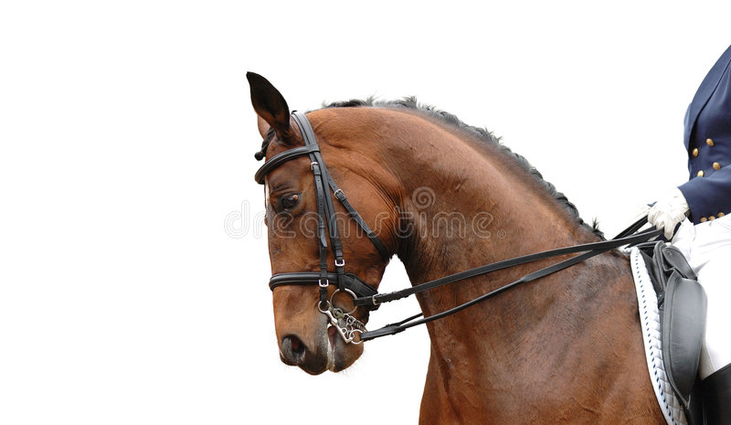 Cavalo isolado no branco imagens de stock