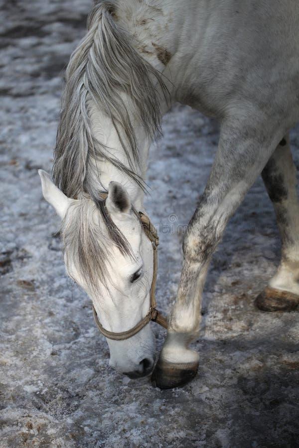 Cavalo de Lipizzan fotografia de stock