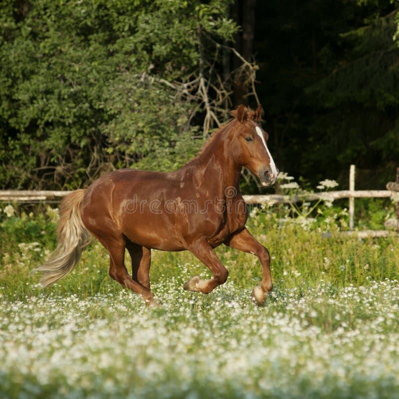 Cavalo livre bonito da castanha que trota no campo com flores fotografia de stock