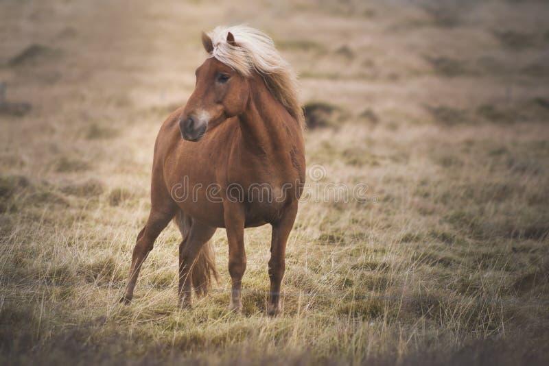 Cavalo livre de Islândia fotos de stock