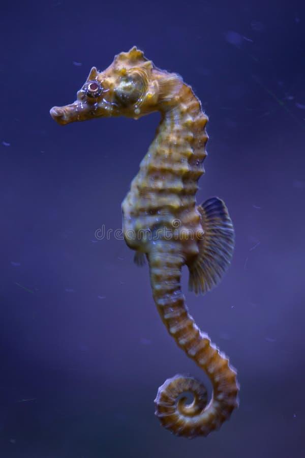 cavalo marinho Curto-snouted & x28; Hippocampus& x29 do hipocampo; imagens de stock royalty free