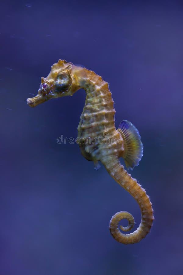 cavalo marinho Curto-snouted & x28; Hippocampus& x29 do hipocampo; foto de stock royalty free