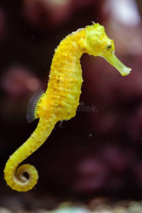 Cavalo marinho delgado & x28; Reidi& x29 do hipocampo; fotos de stock royalty free