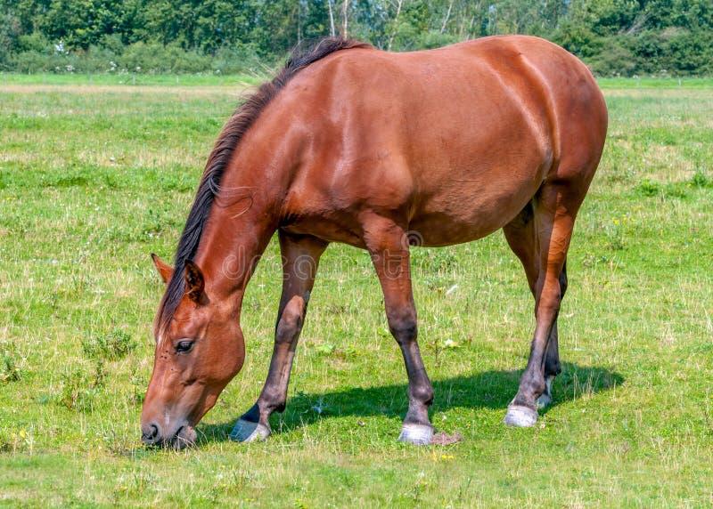 Cavalo marrom agradável que come a grama fotografia de stock royalty free