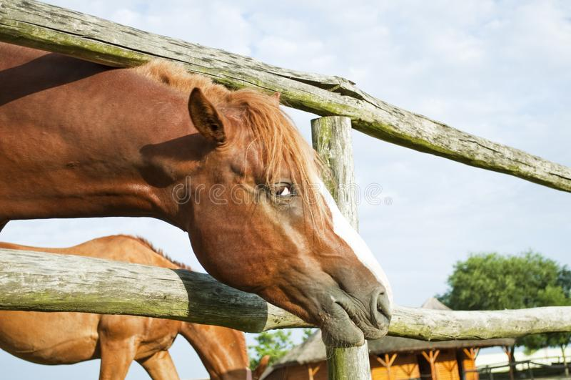 Cavalo marrom bonito que olha a câmera fotografia de stock royalty free