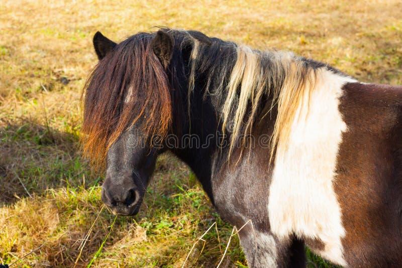 Cavalo marrom e branco colorido com uma madeixa longa fotografia de stock