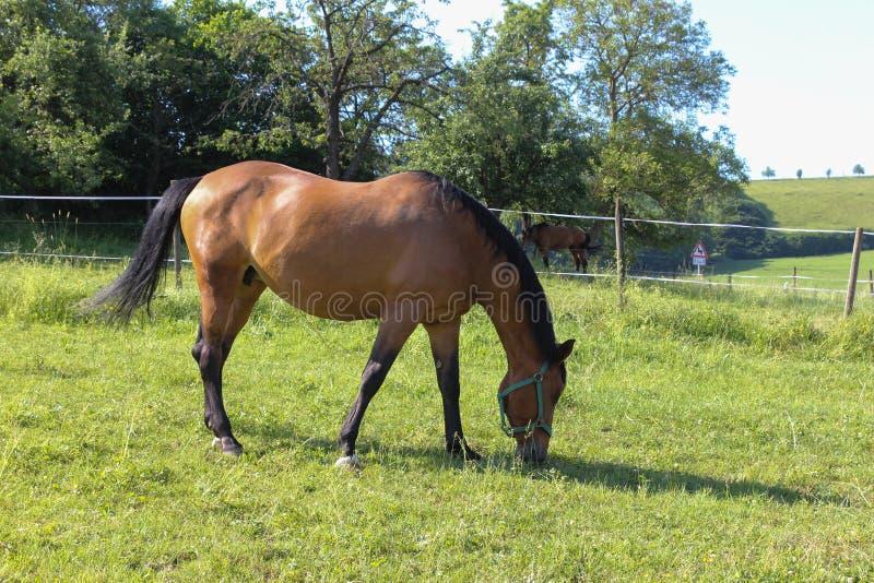 cavalo marrom no prado foto de stock royalty free