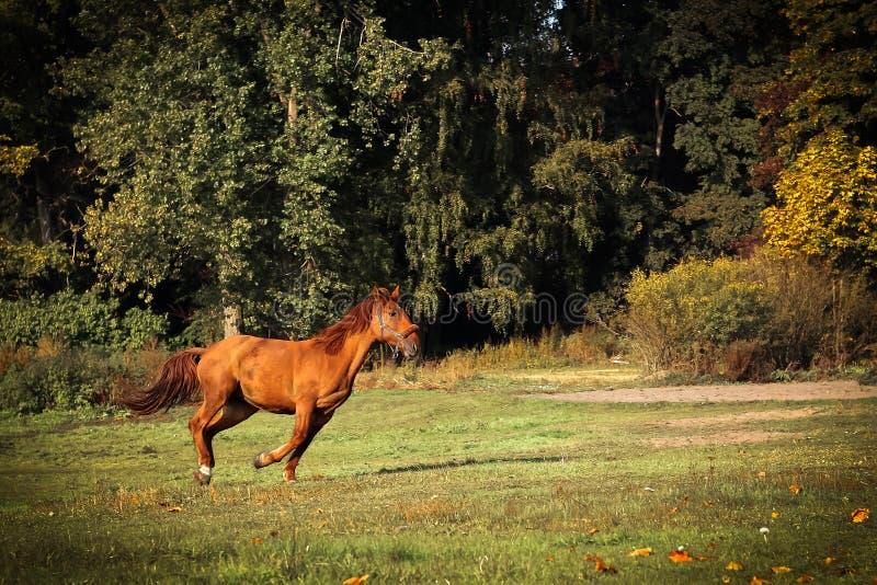 Cavalo marrom novo running no outono imagens de stock