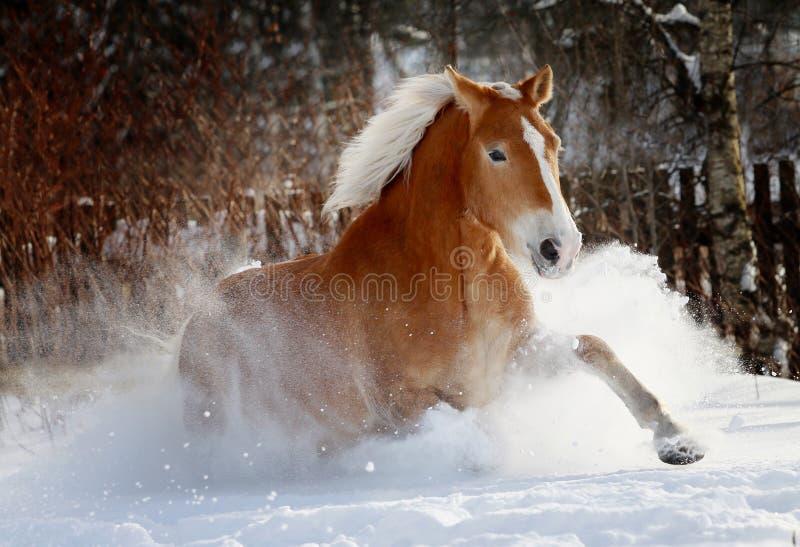 Cavalo na neve foto de stock royalty free