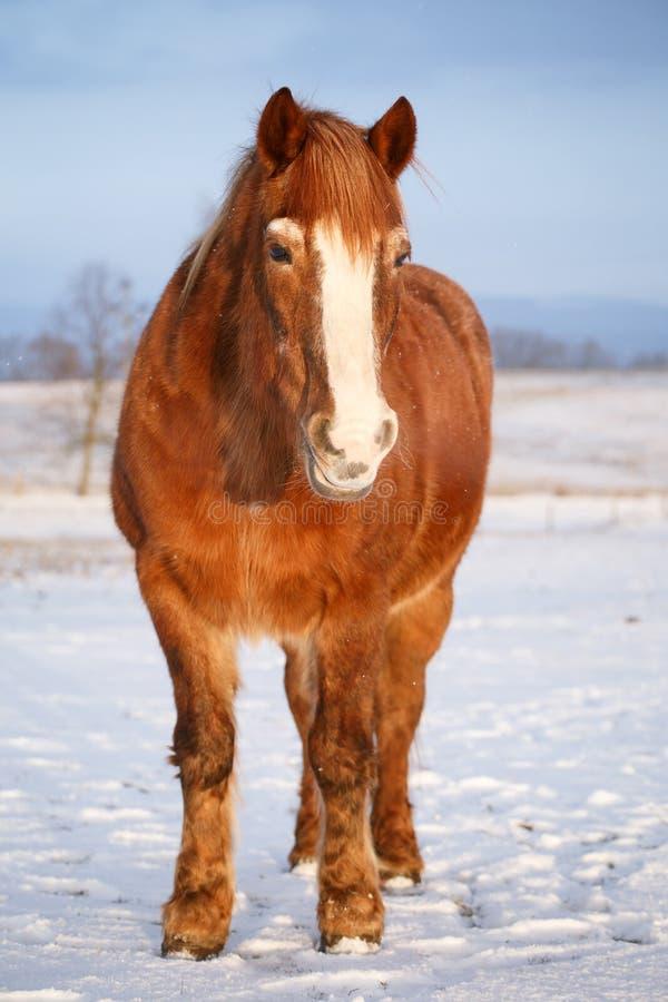 Download Cavalo na neve foto de stock. Imagem de fazenda, sorrel - 65576216