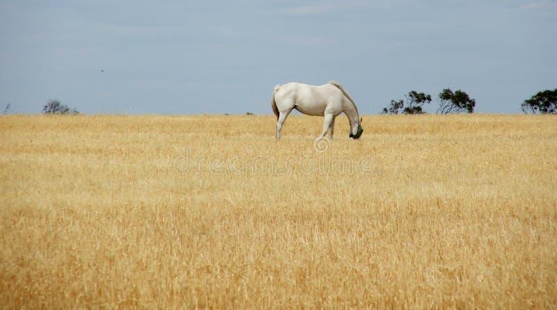 Cavalo na palha fotos de stock
