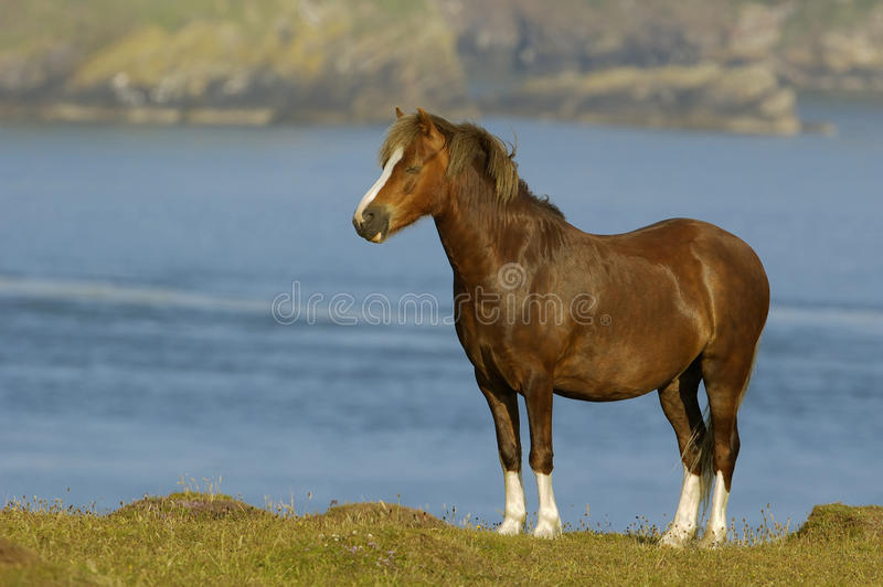 Cavalo na pastagem litoral imagem de stock royalty free