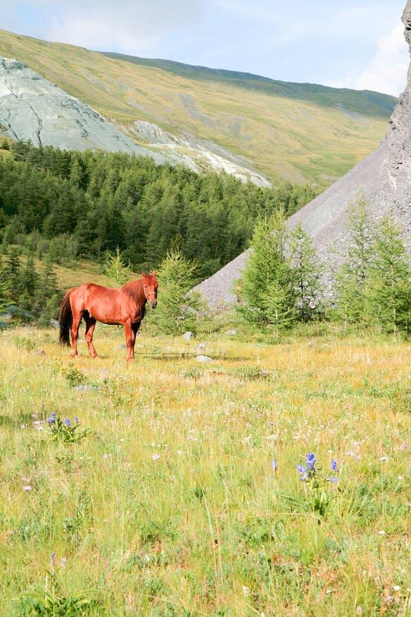 Cavalo nas montanhas de Altai imagens de stock royalty free