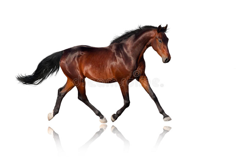 Cavalo no branco imagem de stock