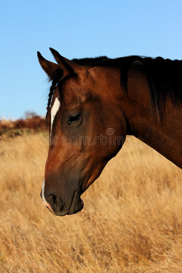 Cavalo no campo fotos de stock royalty free
