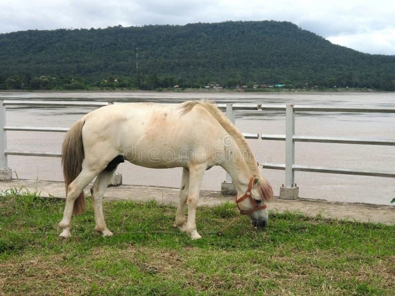 Cavalo no campo verde no banco de rio de Khong imagem de stock
