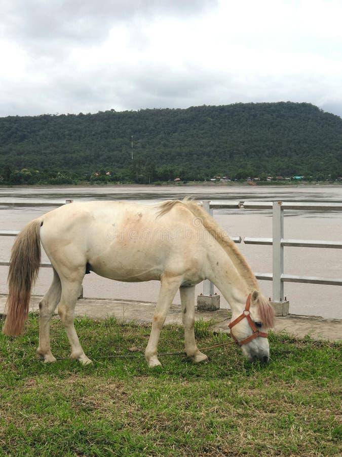 Cavalo no campo verde no banco de rio de Khong foto de stock royalty free