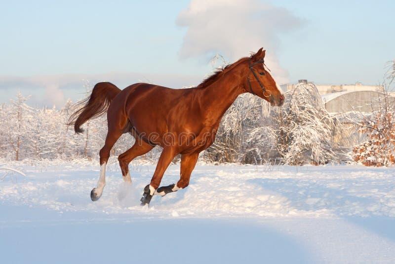 Cavalo no inverno imagens de stock