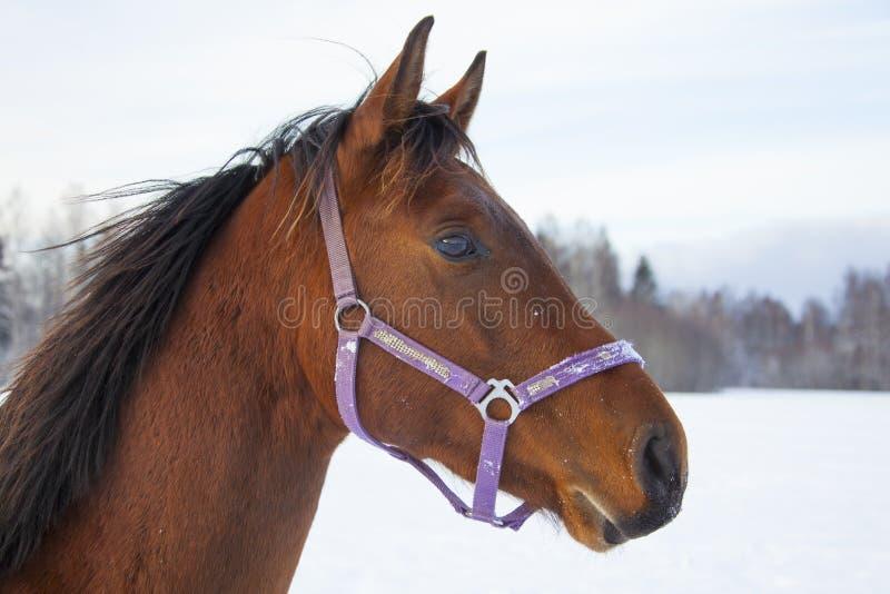 Download Cavalo no inverno imagem de stock. Imagem de pets, cavalo - 80101803