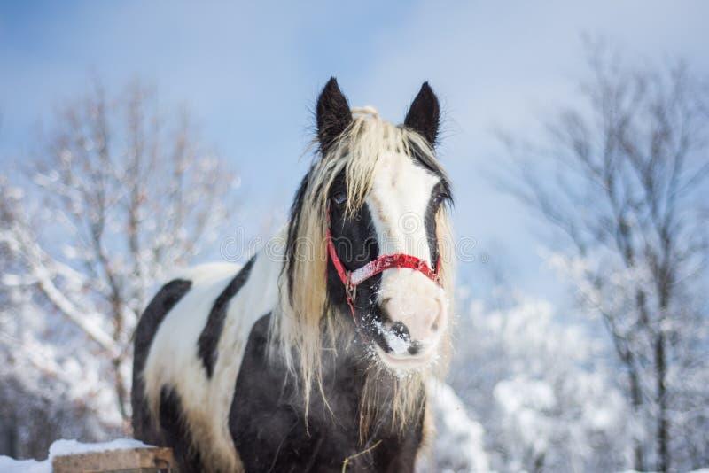 Cavalo no inverno foto de stock royalty free