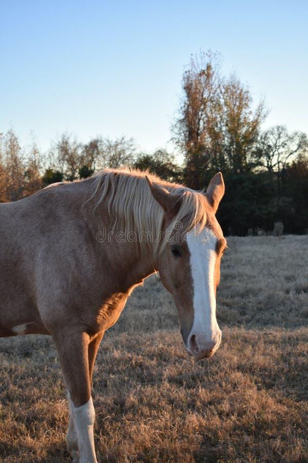 Cavalo no retrato do por do sol imagem de stock