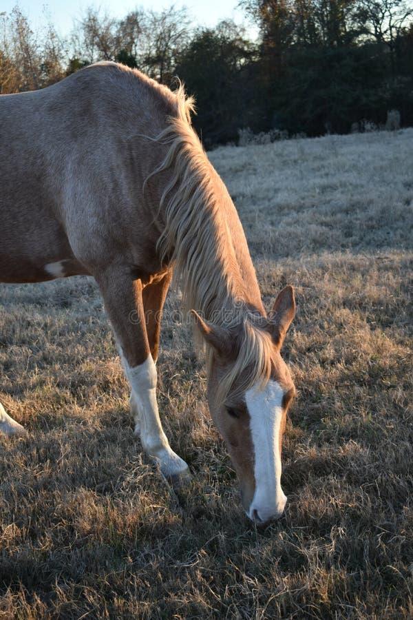 Cavalo no retrato do por do sol foto de stock
