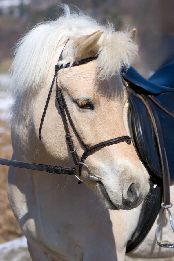 Cavalo norueguês do Fjord fotos de stock royalty free