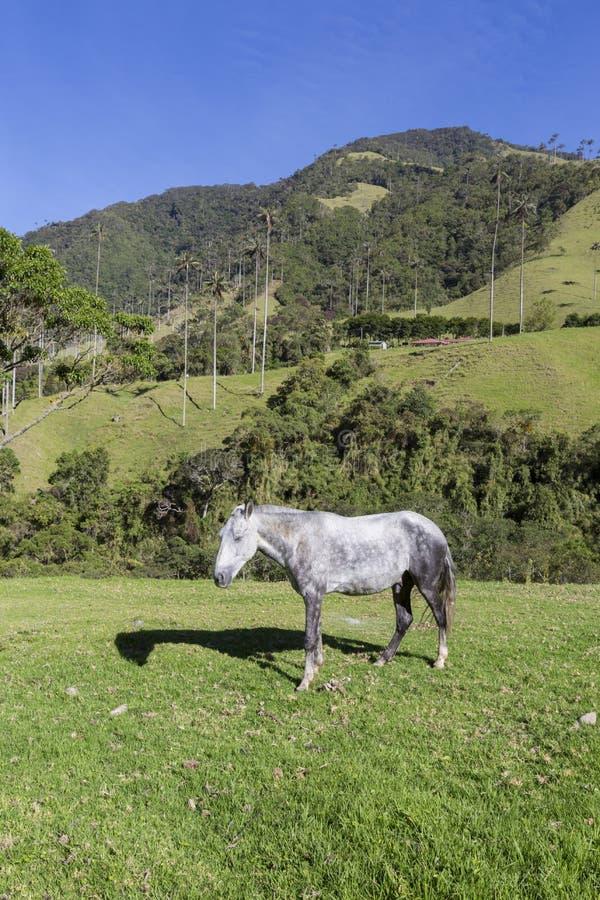 Cavalo nos pastos verdes do vale de Cocora, Salento fotos de stock