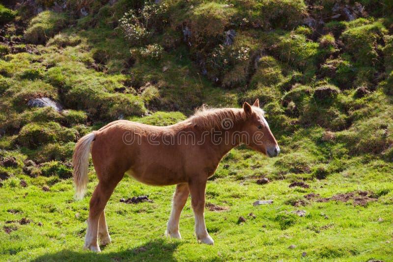 Cavalo nos Pyrenees fotografia de stock royalty free