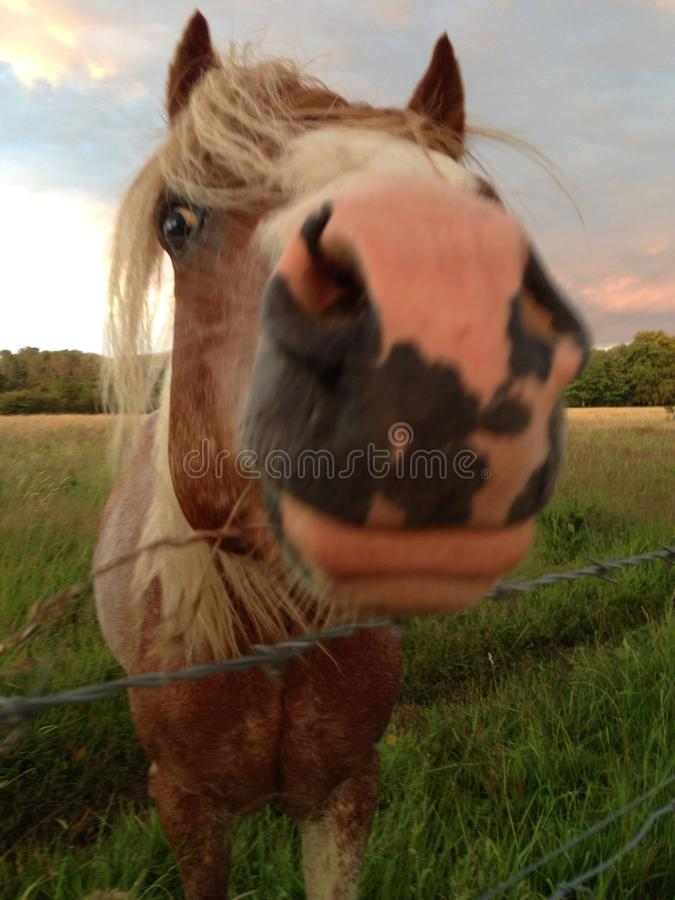 Cavalo Nosey fotografia de stock royalty free