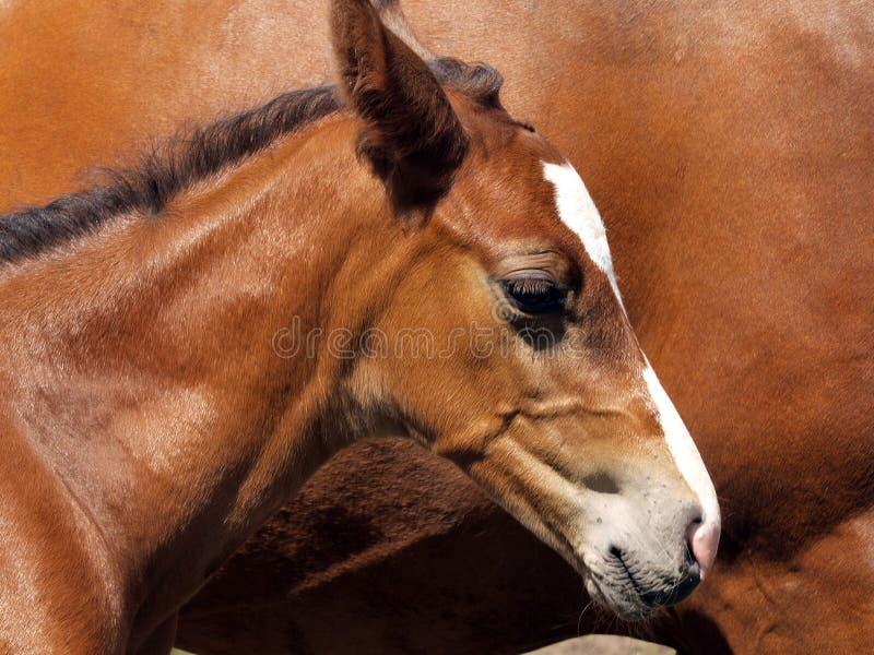 Cavalo novo imagens de stock