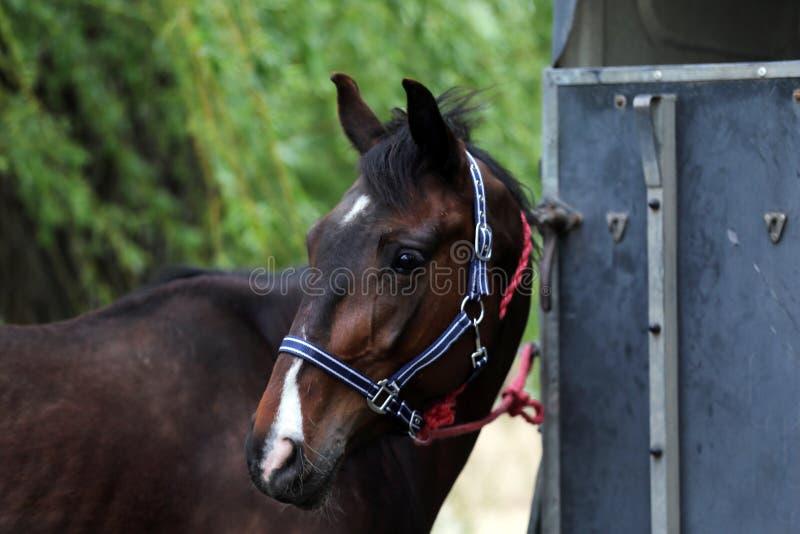 Cavalo novo bonito do esporte que olha para trás na frente de um reboque especial do cavalo antes de treinar fotos de stock