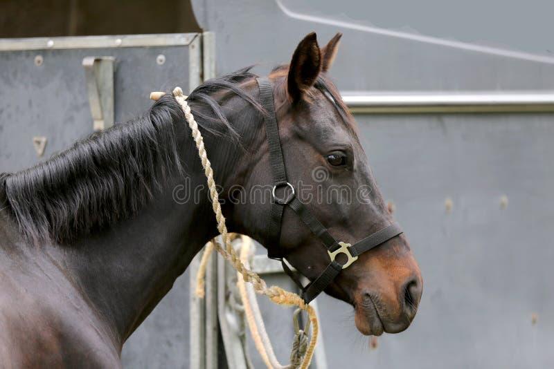 Cavalo novo bonito do esporte que olha para trás na frente de um reboque especial do cavalo antes de treinar imagem de stock royalty free