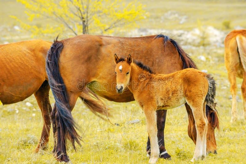 Cavalo novo no rebanho com cavalos adultos foto de stock