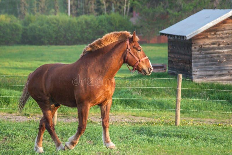 Cavalo pesado no pasto da mola imagens de stock royalty free